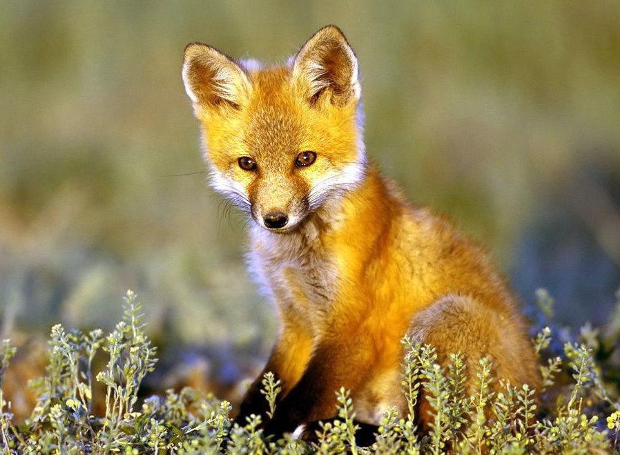 狐狸与猎人爸爸
