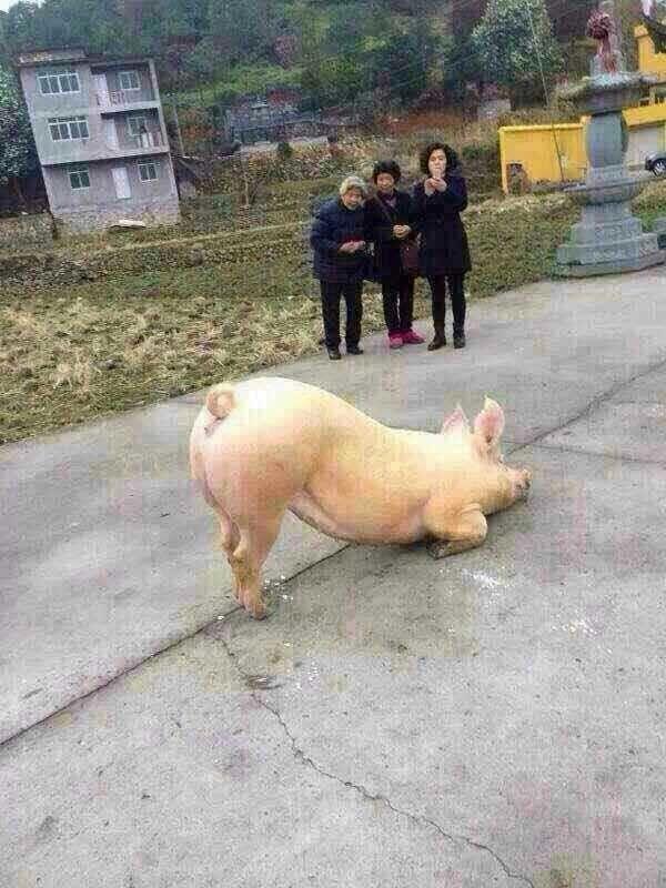 温州居士年初五拍到一头猪跑到寺院下跪 - 妙音 - 妙音的博客