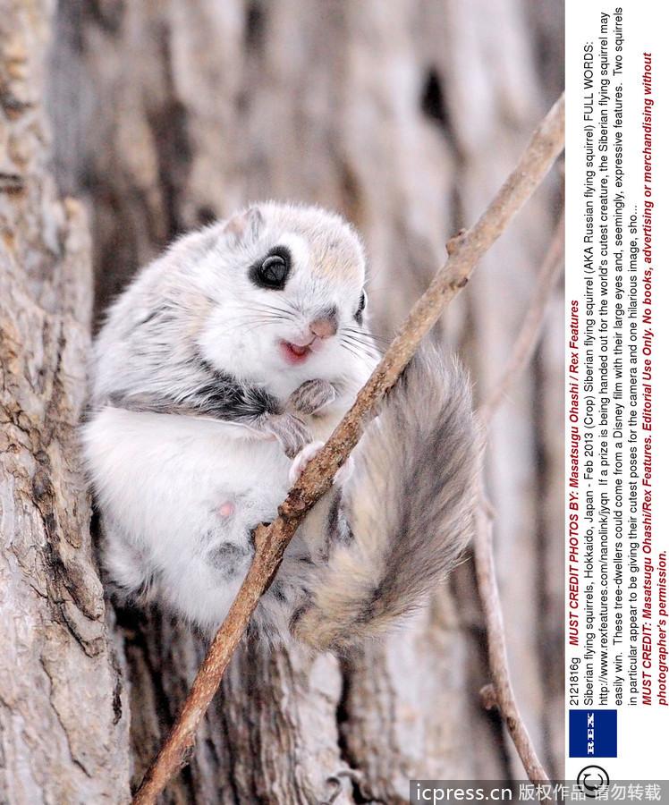 如果要评选世界上最可爱的动物,西伯利亚飞鼠很有可能会轻松胜出.