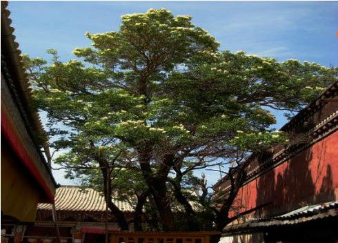 洛桑陀美仁波切:塔尔寺内菩提树的缘起