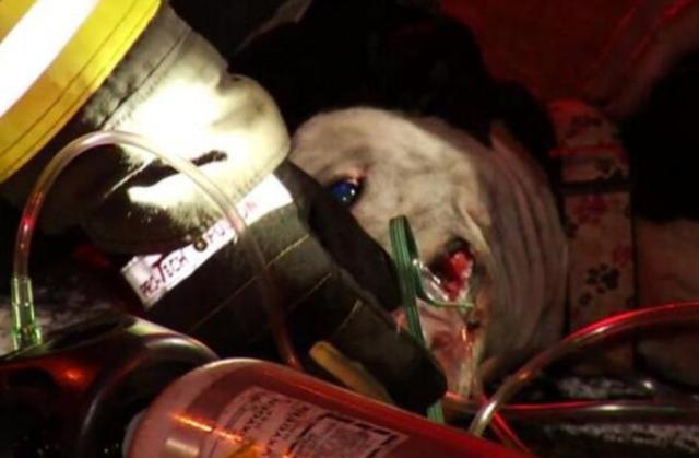 比特犬在火场中狂吠不愿离开,知道原因后消防员感动落泪