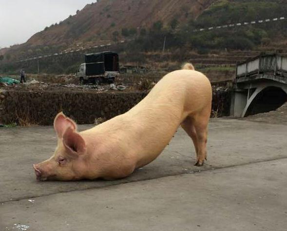 跪拜猪被宰杀前发生了什么? - 妙音 - 妙音的博客