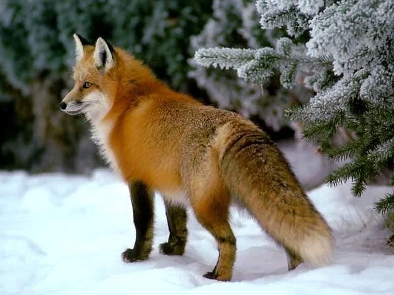 放生的狐狸报恩救主